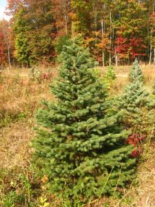 10-18 Colorado Blue Spruce 6'-7'
