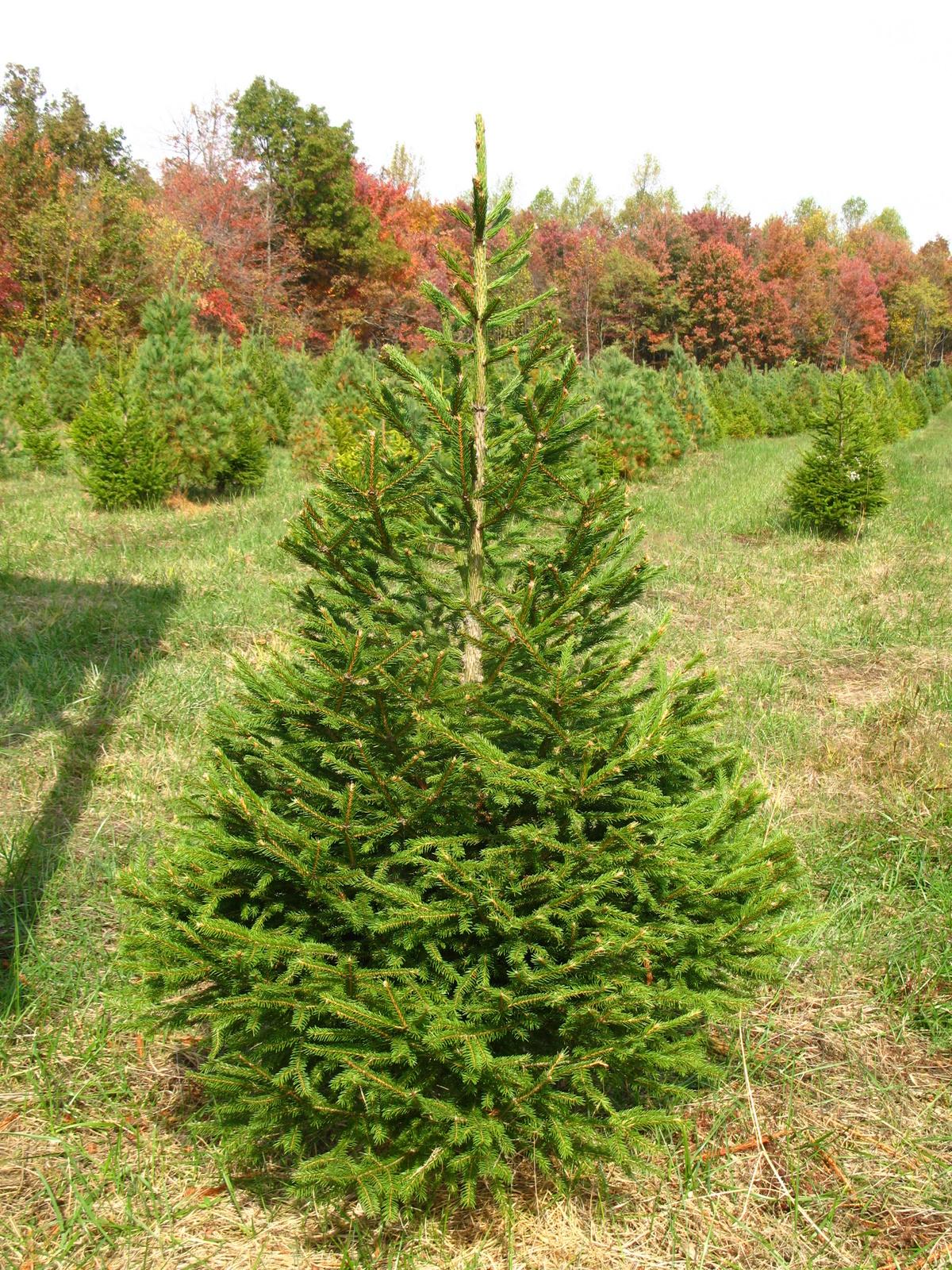 Norway Spruce - Hutton-Loyd Tree Farm