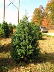 10-18 Scotch Pine