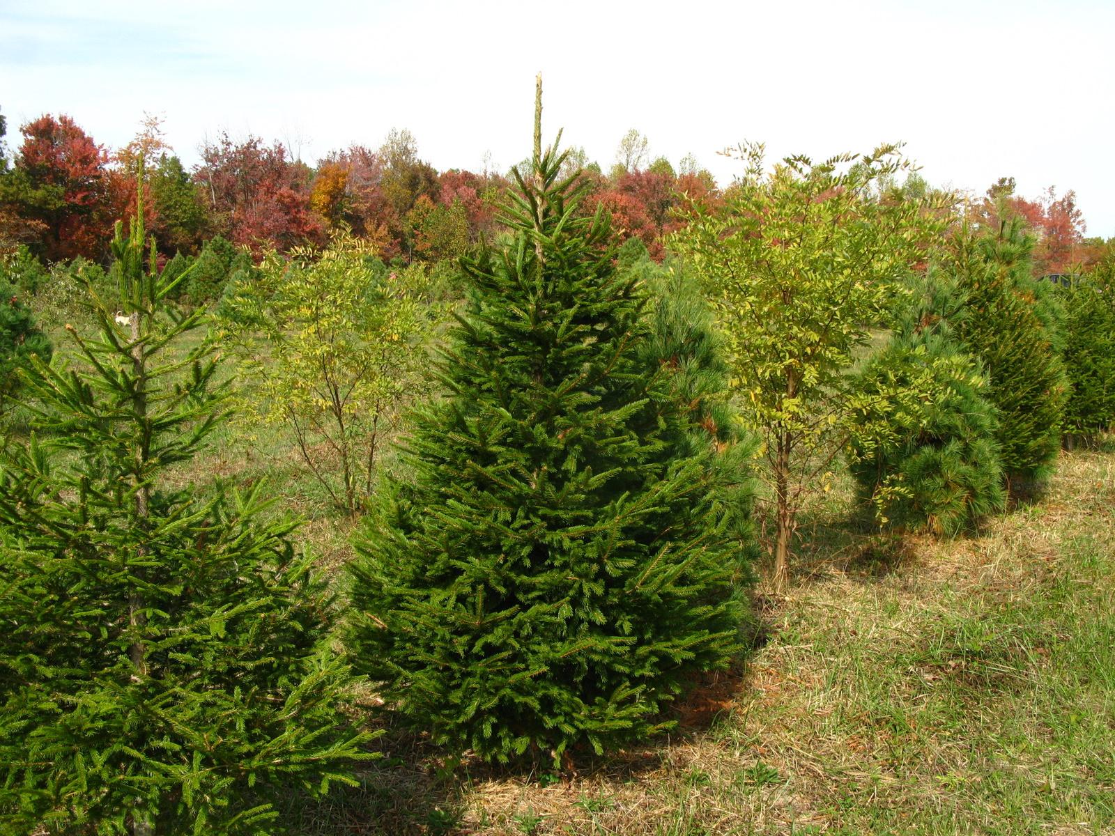 Lit Faux Blue Spruce Trees | Granero de cerámica