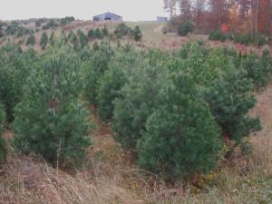 6-8' White Pine