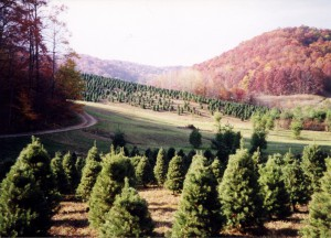 Scotch Pine Field with Autmun Colors in Background.tif